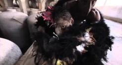 Los gallos de pelea de Esteva y Mendiola